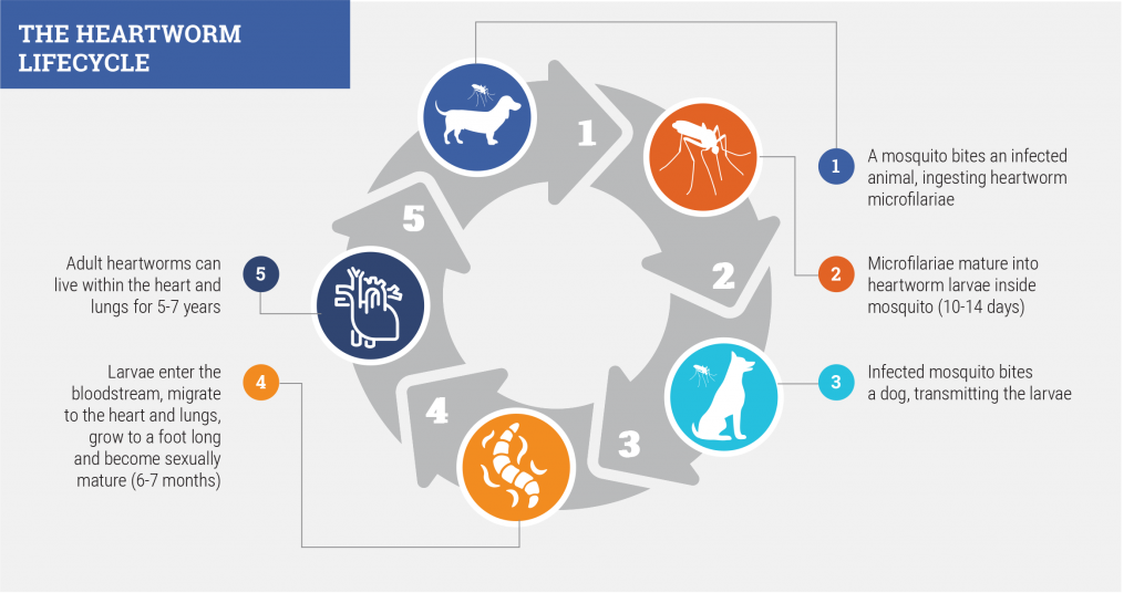 Heartworm Lifecycle image
