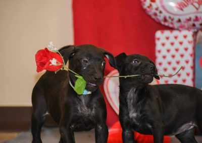 Two puppies fighting over a rose.
