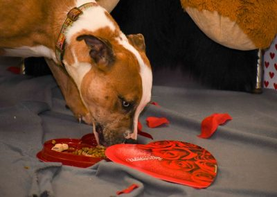 A dog eating valentines day treats