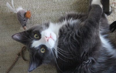 Why Cats Need Interactive Play