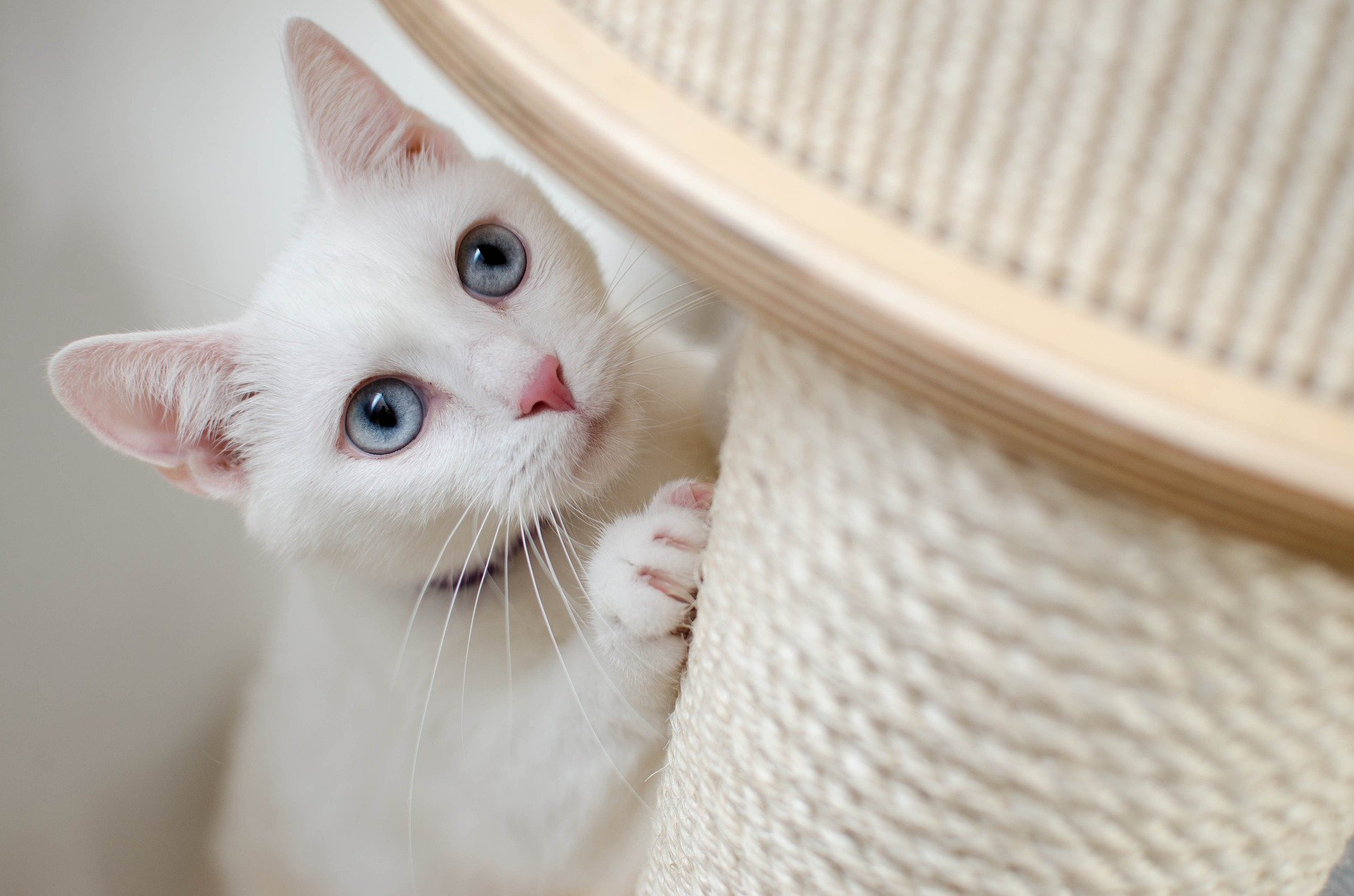 white cat scratching post to illustrate World Spay Day