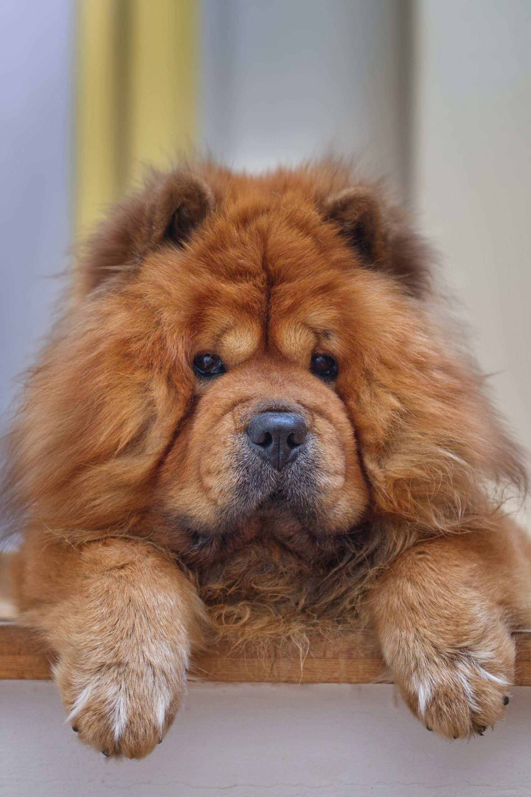 photo of brown fluffy dog for dog photography